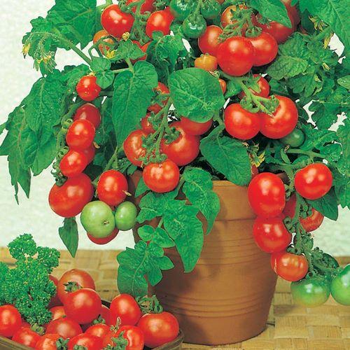 Manfaat Tomat Cherry untuk Kesehatan
