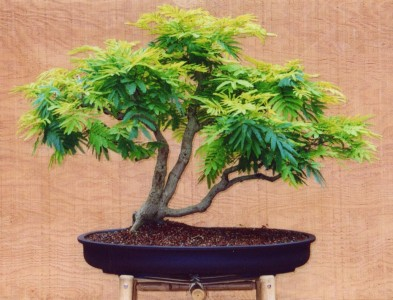 ACACIA DEALBATA - SUPER KVĚTY,BONSAI RARITA/20 SEMEN/