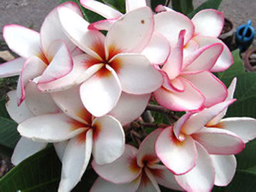 PLUMERIA RUBRA DIAMOND LOCKET /5 SEMEN/