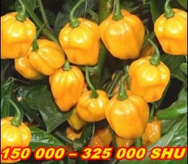 PÁLIVÉ CHILLI PAPRIČKY SCOTCH BONNET YELLOW/10SEMEN/