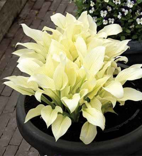 HOSTA WHITE FEAKER